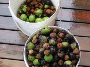Walnuts are plentiful at the moment.  I may be able to use the husks to dye some fleece