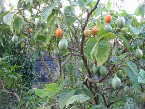To replace the apples as fresh fruit we now have tamarillos