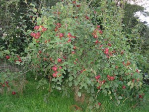 The last of our apples are ready to pick
