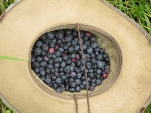 Blueberries from the orchard: an unexpected find